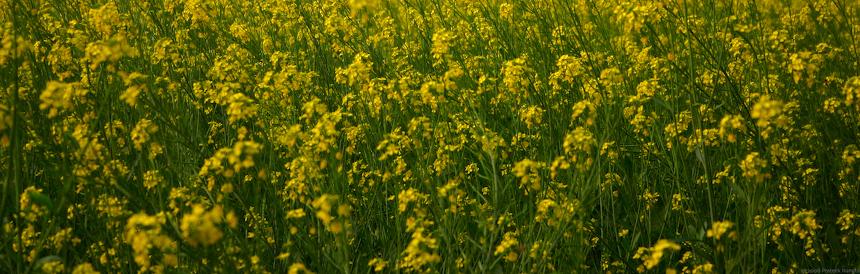 Mustard plantation