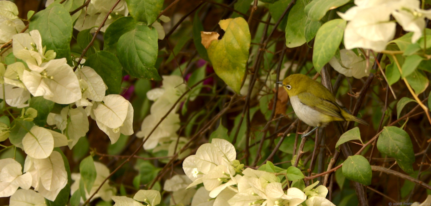 Little birdie perched on a branch of bougainvillaeas